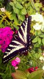 Butterfly. Swallow tail butterfly black and white Stock Images