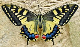 Butterfly, Swallow Tailed Butterfly Stock Images