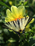 Butterfly swallowtail. On yellow flower stock image