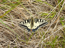 Butterfly Swallowtail on the grass Stock Images