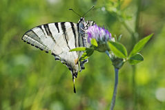 Butterfly swallowtail (Papilio machaon) Royalty Free Stock Image