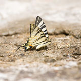 Butterfly Swallowtail (Papilio machaon) Stock Photo