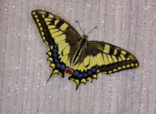 Butterfly swallowtail (papilio machaon) Stock Images