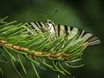 Butterfly swallowtail Podalirius sits facing the camera stock photos