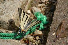 Butterfly - Swallowtail Stock Images