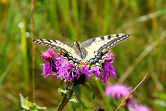 Butterfly Swallowtail. Wide variety of butterflies can also be found in the early spring and throughout the summer. The first butterflies appear when it is not Royalty Free Stock Photos