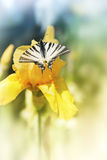Butterfly swallowtail on yellow flower Stock Photos
