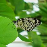 Butterfly swallowtail on green leaf royalty free stock photo
