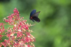 A butterfly swarming on the red flowers