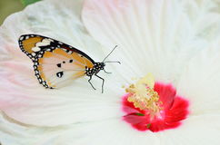 Butterfly on sweet hibiscus Royalty Free Stock Images