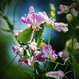 Butterfly on sweet pea Stock Photos