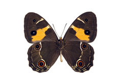 Butterfly - Sword-grass Brown, Tisiphone abeona Royalty Free Stock Image