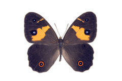 Butterfly - Sword-grass Brown, Tisiphone abeona Stock Photo