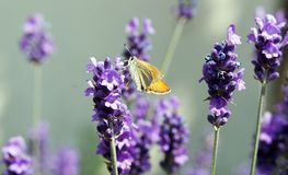 Butterfly: the sylvaine Royalty Free Stock Images