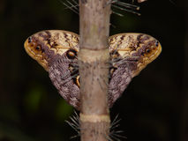 Butterfly symmetry. Beautiful exotic butterfly hiding from camera stock photo