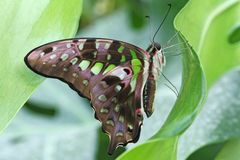 Butterfly - Tailed Jay (Graphium agamemnon) Stock Photo