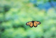 Butterfly. From the Taiwan Acraea issoria formosana Fine Royalty Free Stock Photography