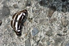Butterfly. From the Taiwan Athyma jina sauteri Broadband three-wire Stock Image
