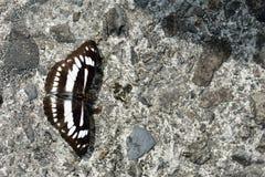 Butterfly. From the Taiwan Athyma jina sauteri Broadband three-wire Stock Photos