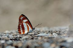 Butterfly. From the Taiwan Athyma jina sauteri  in water Royalty Free Stock Photo