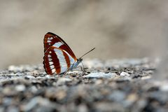 Butterfly. From the Taiwan Athyma jina sauteri  in water Royalty Free Stock Photos