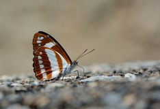 Butterfly. From the Taiwan Athyma jina sauteri  in water Stock Image
