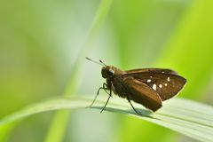 Butterfly from the Taiwan. Caltoris cahira austeni Black lines hesperiids butterfly stock image