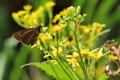 Butterfly. From the Taiwan Caltoris cahira austeni Black lines hesperiids stock photos