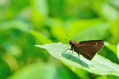 Butterfly from the Taiwan. Caltoris cahira austeni Black lines hesperiids butterfly stock photos