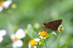 Butterfly. From the Taiwan Caltoris cahira austeni Black lines hesperiids stock photo