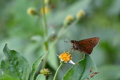 Butterfly. From the Taiwan Caltoris cahira austeni Black lines hesperiids royalty free stock image