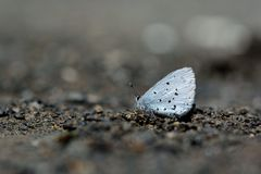 Butterfly from the Taiwan. Celastrina sugitanii shirozui Cedar Valley Glass butterfly in water Royalty Free Stock Image