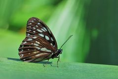 Taiwan butterfly(Penthema formosanum) natural soil water suction Stock Photography