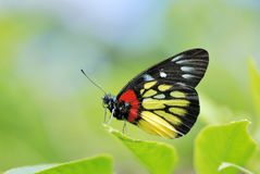 Taiwan Butterfly (Delias pasithoe curasena) on a Branches and leaves Royalty Free Stock Photo