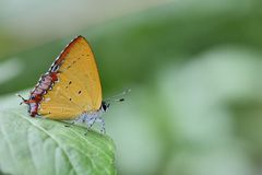 Taiwan Butterfly (Heliophorus ila matsumurae) on a Branches and leaves  Stock Image