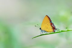 Taiwan Butterfly (Heliophorus ila matsumurae) on a Branches and leaves  Stock Images