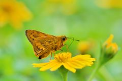 Taiwan Butterfly (Hesperiidae) on a flower Royalty Free Stock Images
