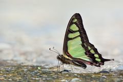 Taiwan endemic butterfly (Graphium cloanthus kuge) natural soil water suction Royalty Free Stock Image