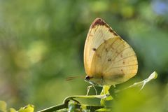 Taiwan butterfly(Catopsilia pomona) natural soil water suction royalty free stock images