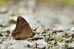 Taiwan butterfly(Lethe insana formosana) soil water suction Royalty Free Stock Image