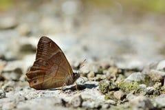 Taiwan butterfly(Lethe insana formosana) soil water suction Royalty Free Stock Image