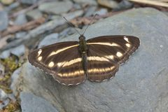 Taiwan butterfly(Neptis taiwana) natural soil water suction stock photos