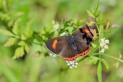 Taiwan Butterfly (Heliophorus ila matsumurae) on a flower Stock Images