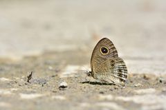 Taiwan butterfly(Ypthima baldus zodina) natural soil water suction royalty free stock photos