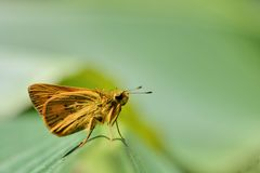Taiwan Butterfly (Hesperiidae) on a Branches and leaves Royalty Free Stock Image