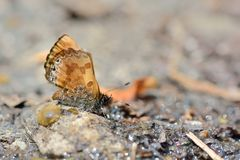 Taiwans smallest butterflies,natural water absorption butterfly( Freyeria putli formosanus) royalty free stock photography