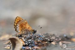 Taiwans smallest butterflies,natural water absorption butterfly( Freyeria putli formosanus) royalty free stock photos
