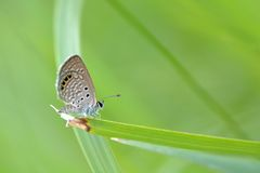 Taiwans smallest butterflies, also known as nail, butterfly( Freyeria putli formosanus ) stock image