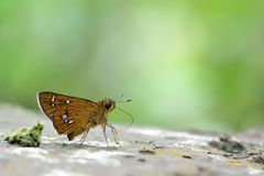 Butterfly. From the Taiwan Polytremis eltola tappana Royalty Free Stock Photos