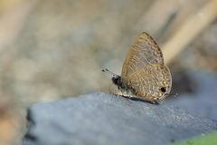 Butterfly. From the Taiwan Prosotas nora formosana Small ripple  in water royalty free stock photography